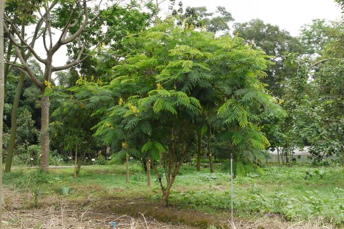 Pohon Sepang